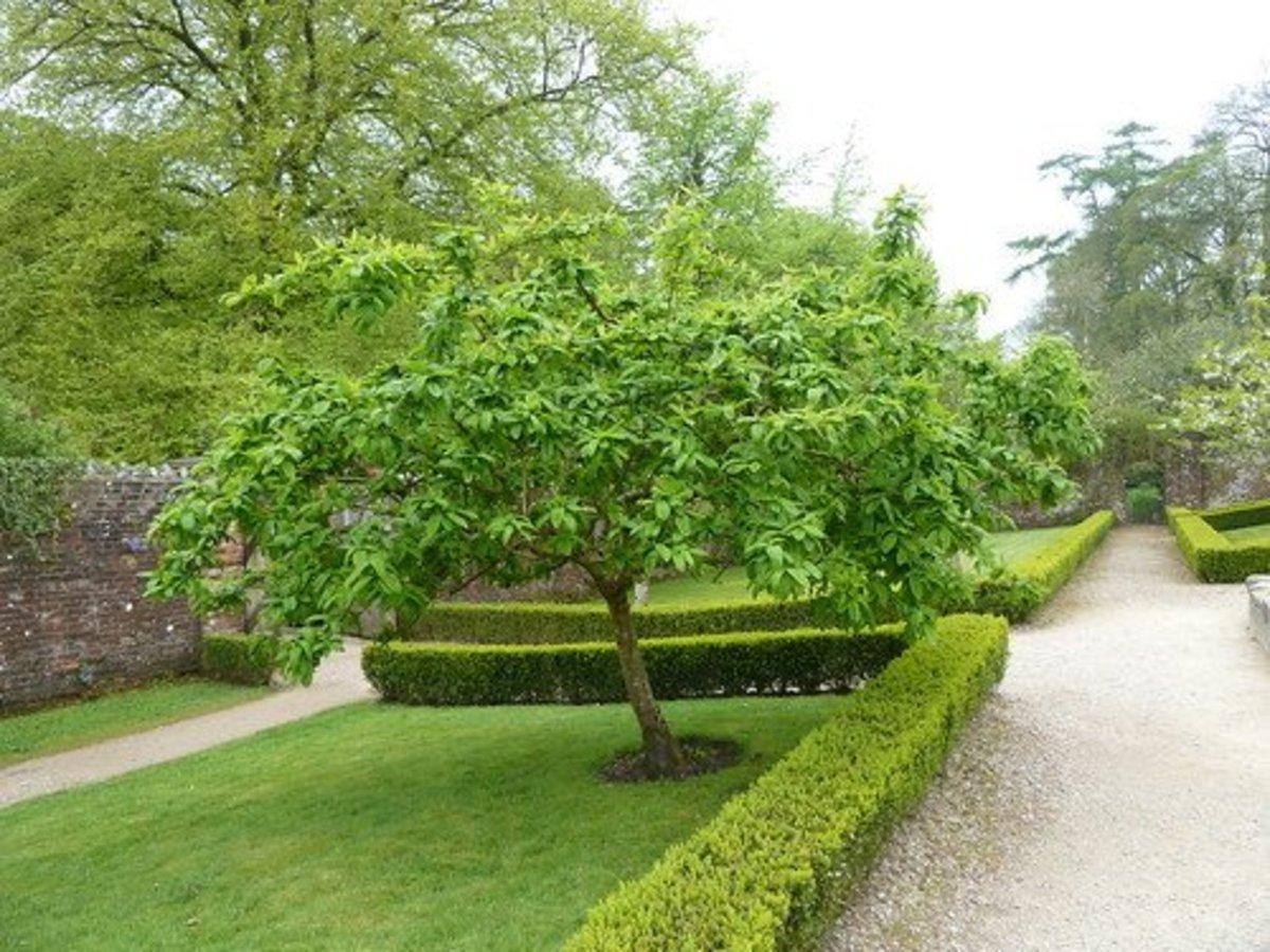 A medlar tree