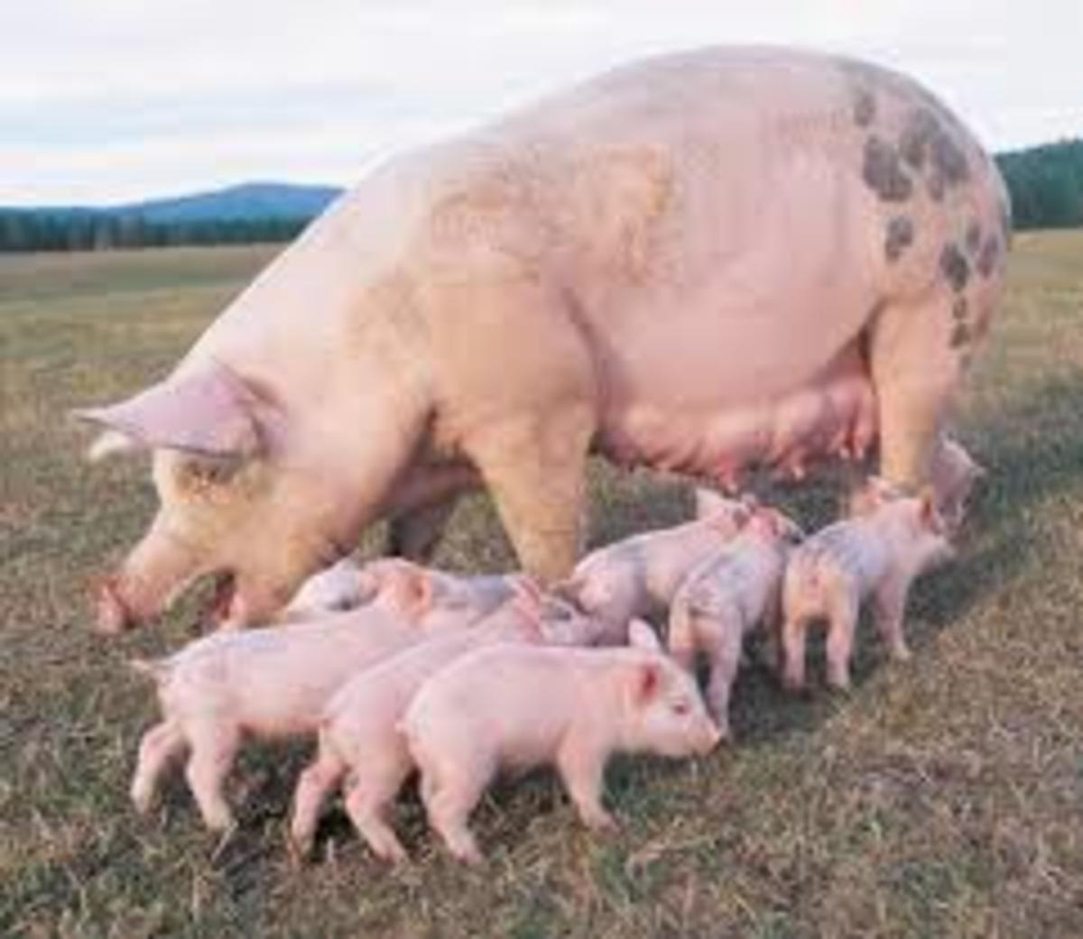 Mother pig and her piglets, did you know that every piglet has got his own tit to feed themselves.from their mother milk?