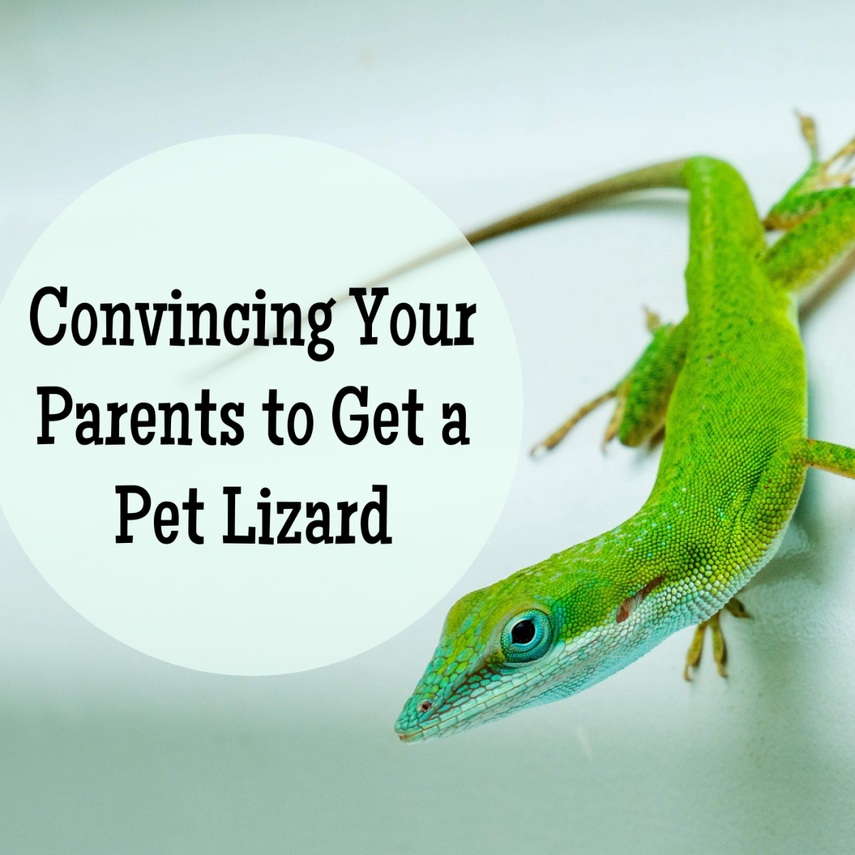 Review some common parental objections to pet lizards and how to answer them in a mature way!
