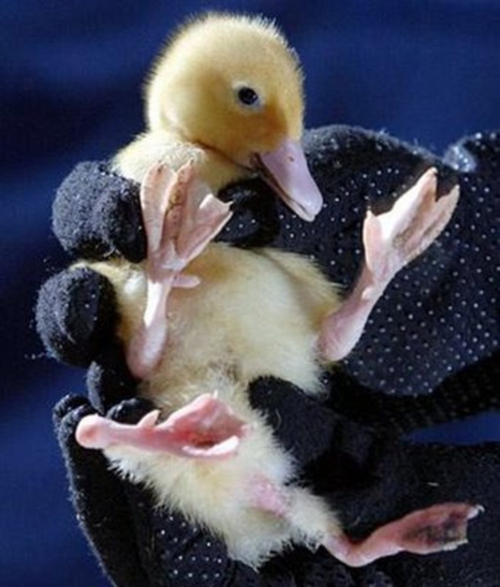 Young duckling with asymmetry conflicts bred from a preferred line in order to create better egg-laying productions.
