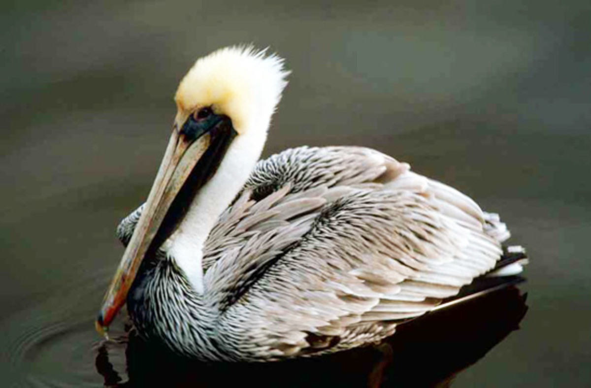 Brown Pelican(stock.xchng.)