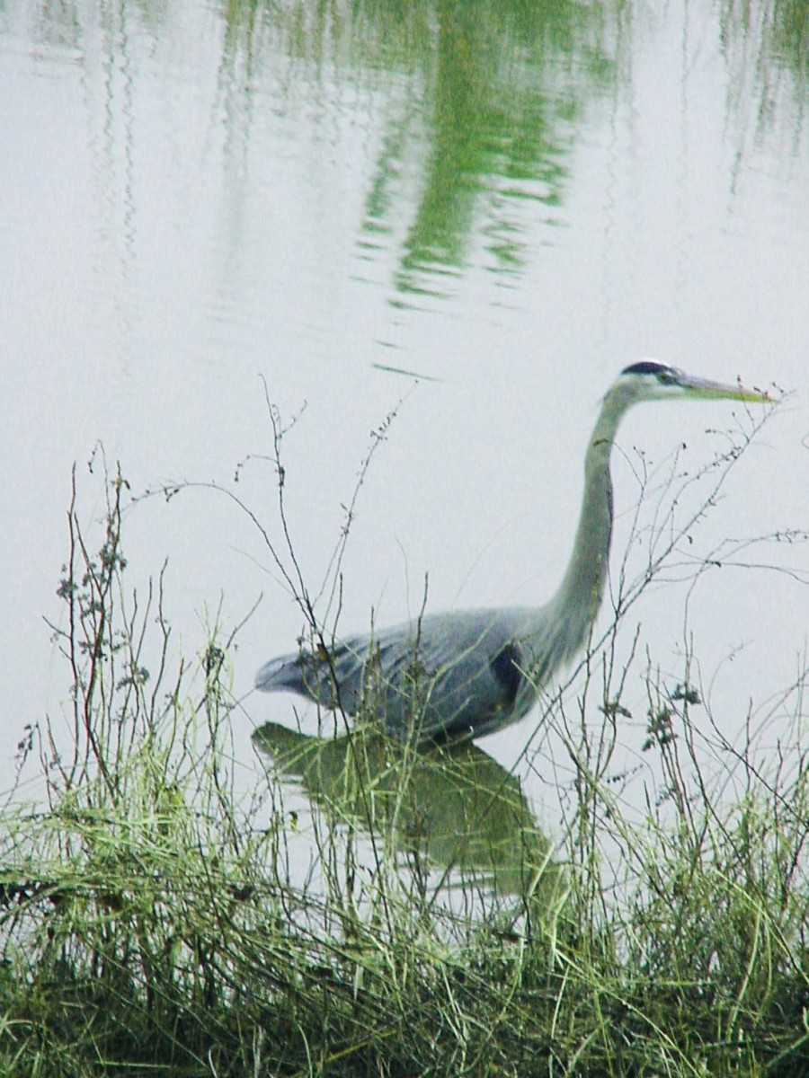 A Great blue Heron at Maryland's Blackwater Wildlife Refuge
