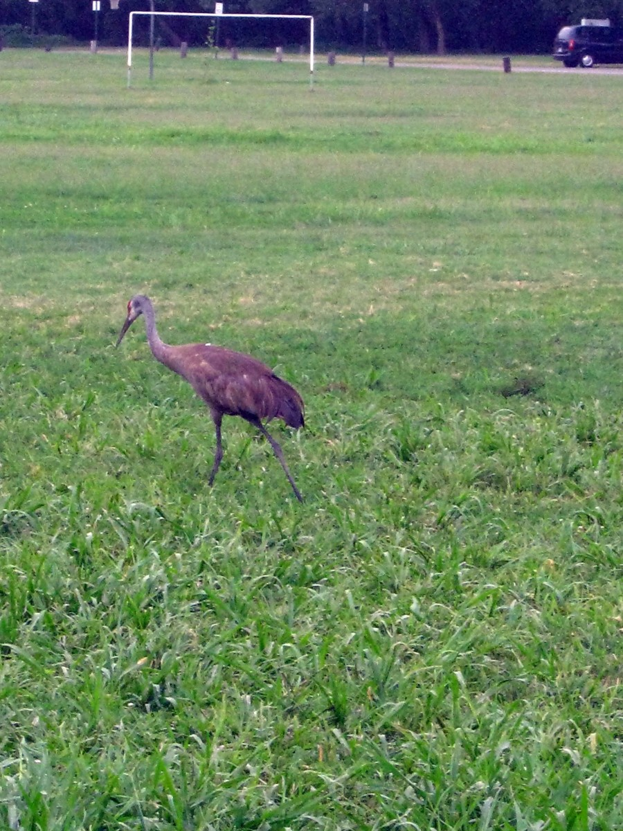 Sandhill crane - unusual in our area