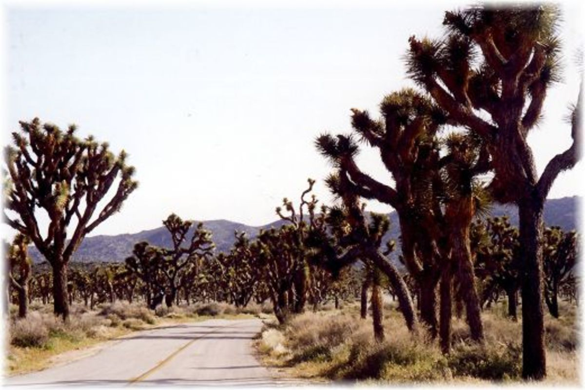 Road through grove of Joshua Trees in the Joshua Tree National Park