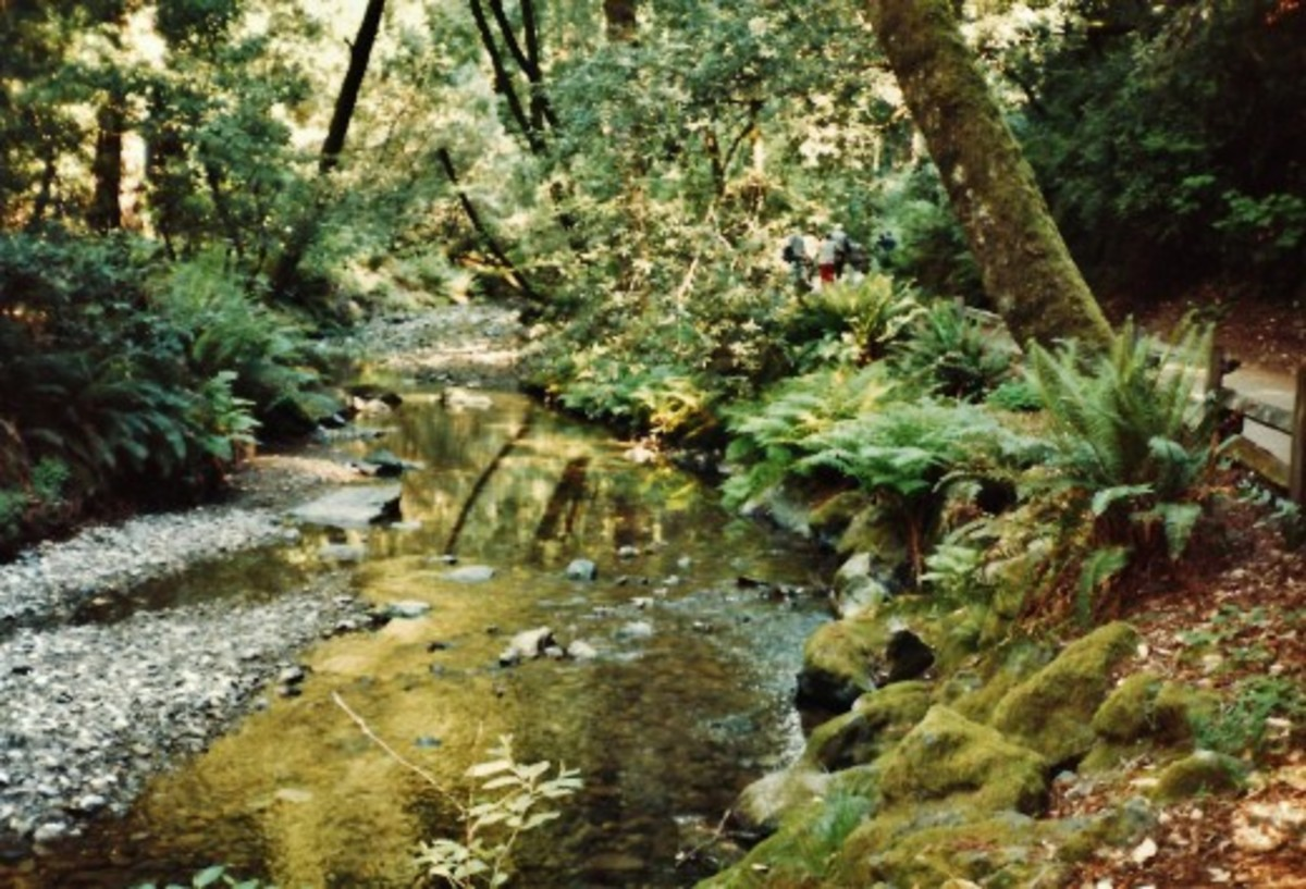 The Redwood Creek in Muir Woods National Monument ~ Old Growth Forest near San Francisco