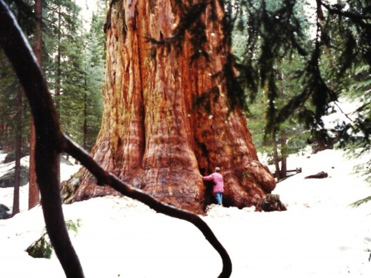 Giant sequoia tree as seen in Sequoia and Kings Canyon National Parks