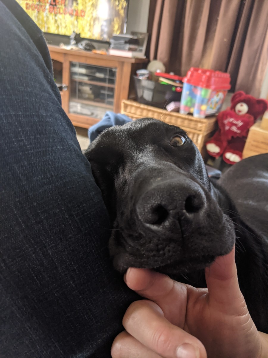 petting-your-labrador-retriever