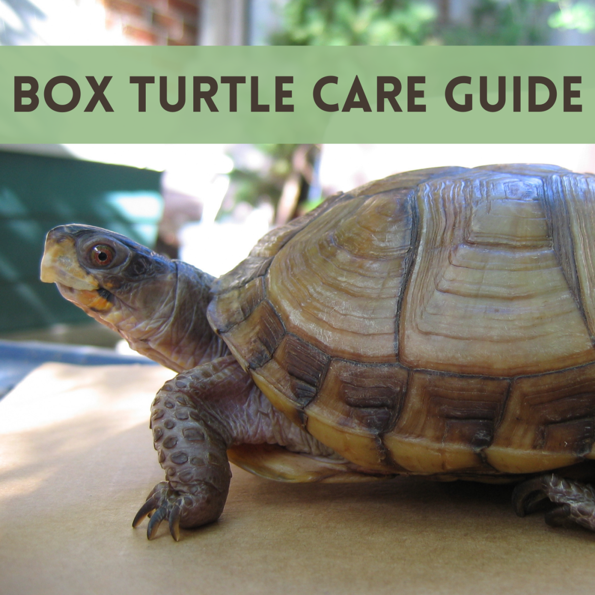How to Properly House and Care for Pet Box Turtles