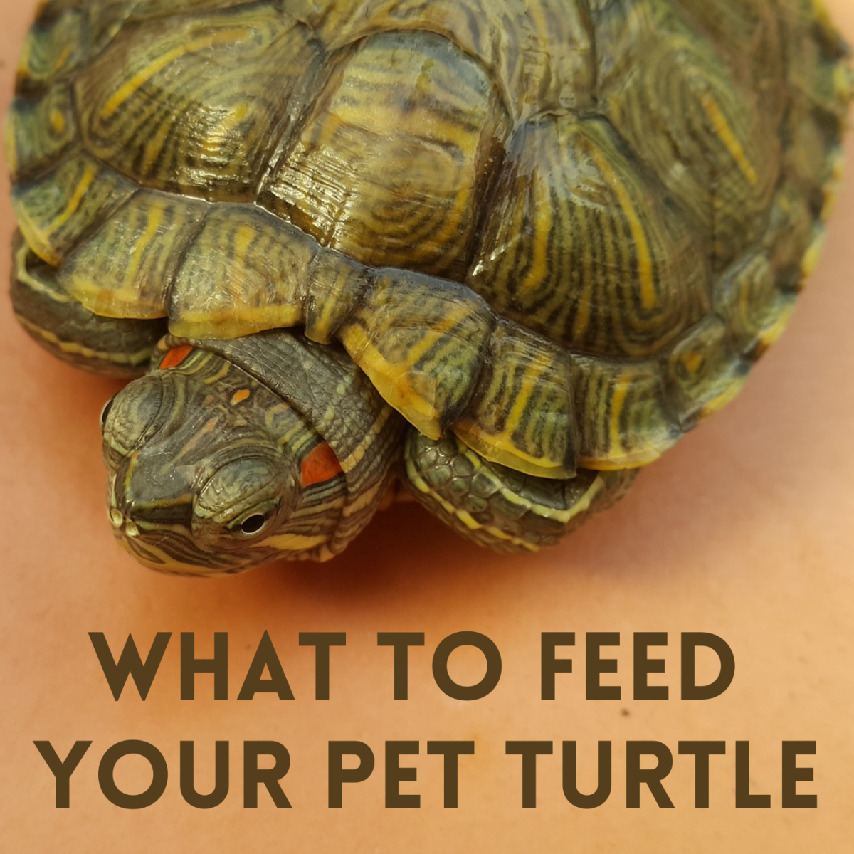 To get the right food for your turtle, first you'll need to figure out what type of turtle you have.
