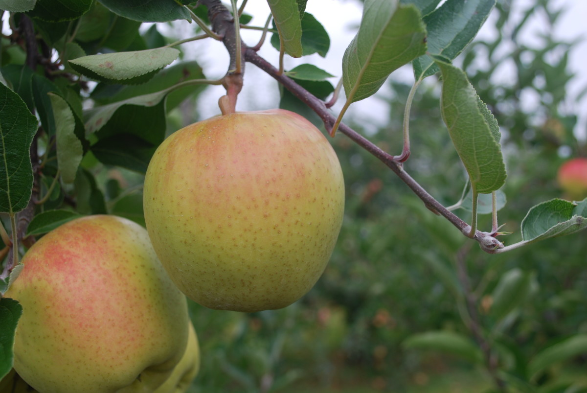 Apple trees should be trimmed in late winter or early spring, to help new growth be plentiful. The tree will still be dormant and prevents harm to the growing tree.