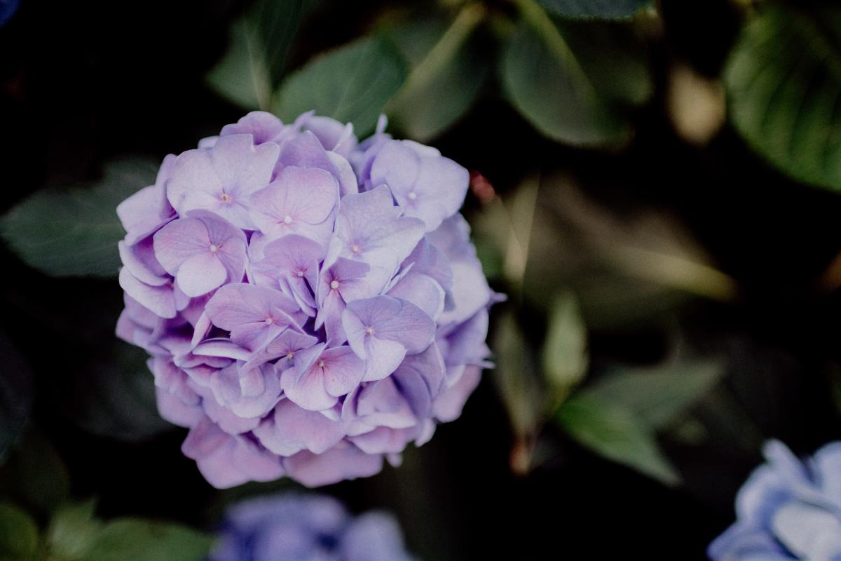 Tips for How to Prune Your Hydrangeas