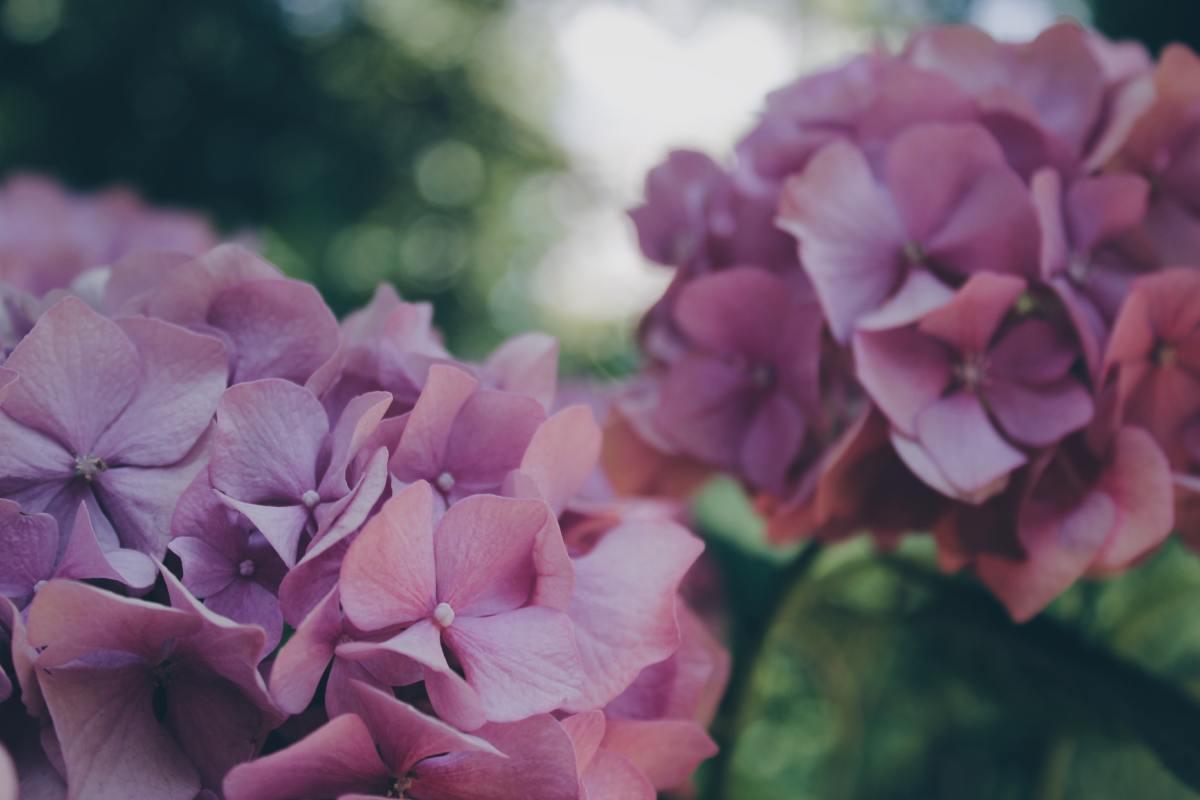 Beautiful pink hydrangea blooms.