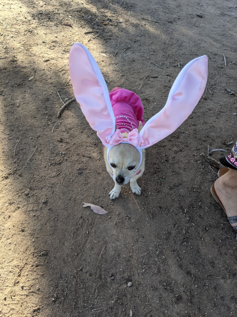 Not having a pet rabbit we had to draft our dog, Chika, into filling in as our Easter Bunny