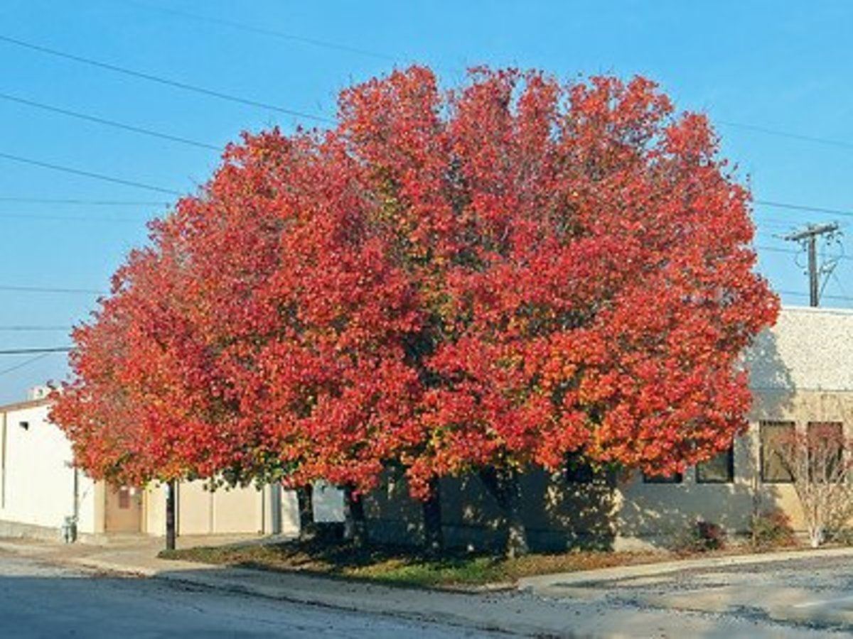 Several Bradford Pear trees display brilliant colors on the South Side of Ft. Worth, Texas