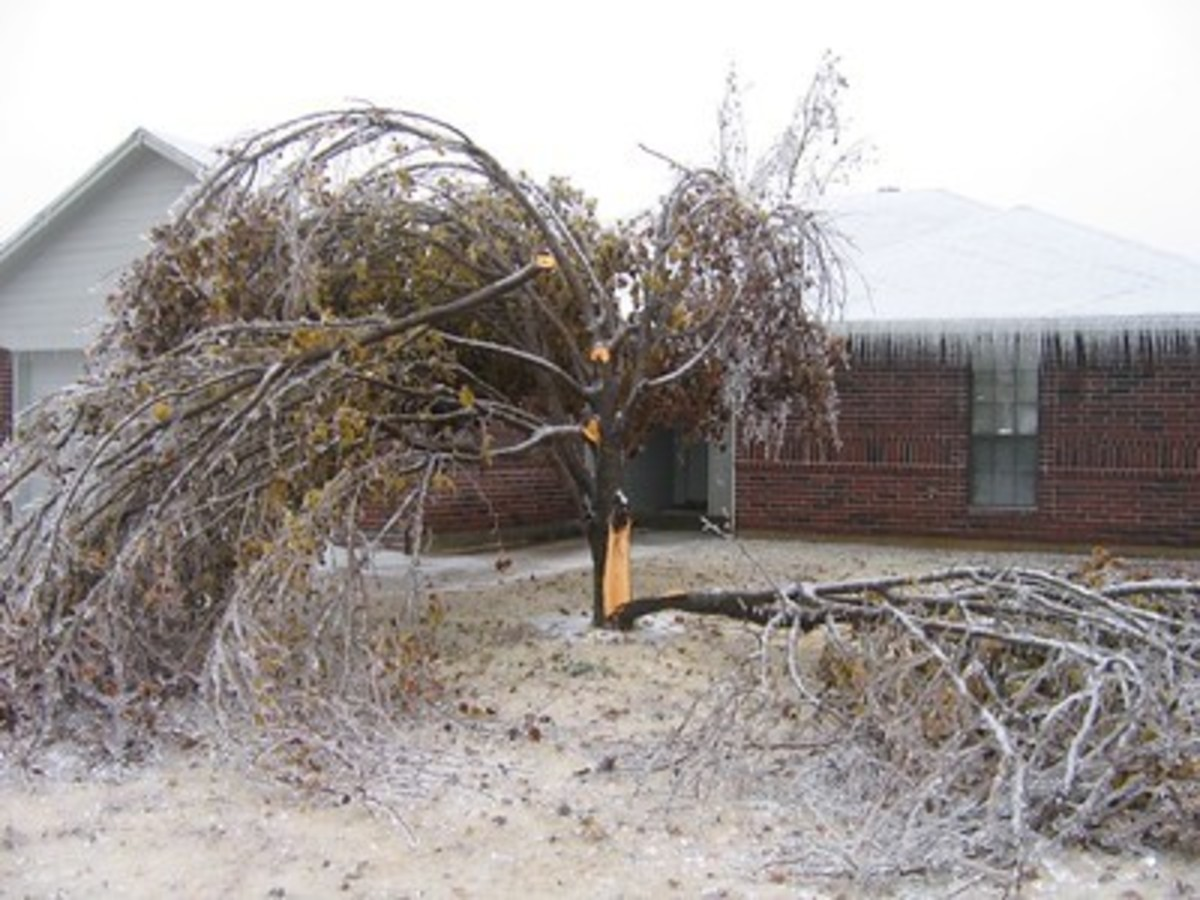 Bradford Pear suffers catastrophic damage after ice and wind.