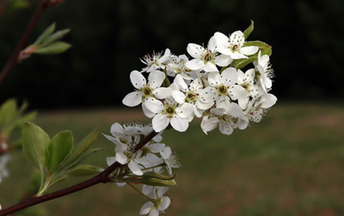 The Bradford Pear's bright white spring time flower clusters.