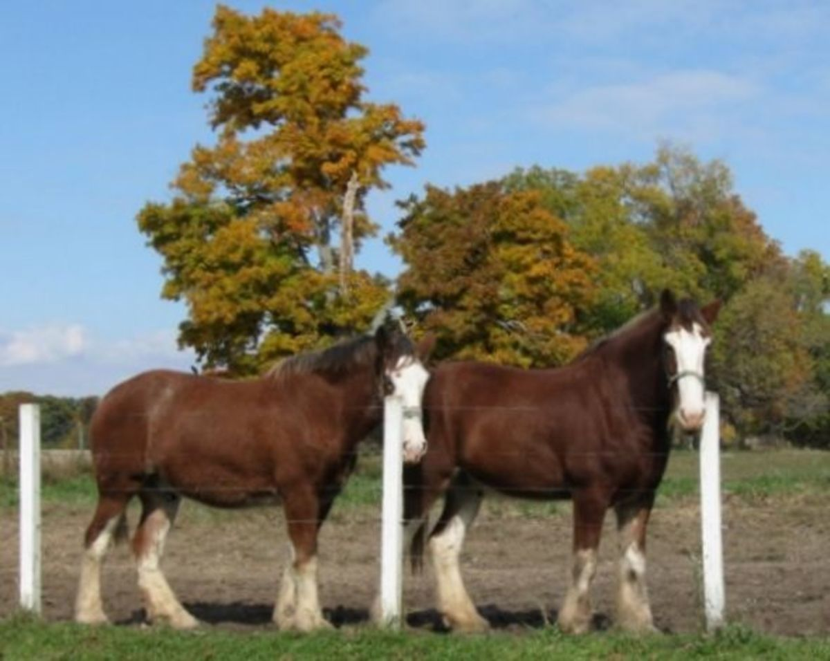Friendly draft horses