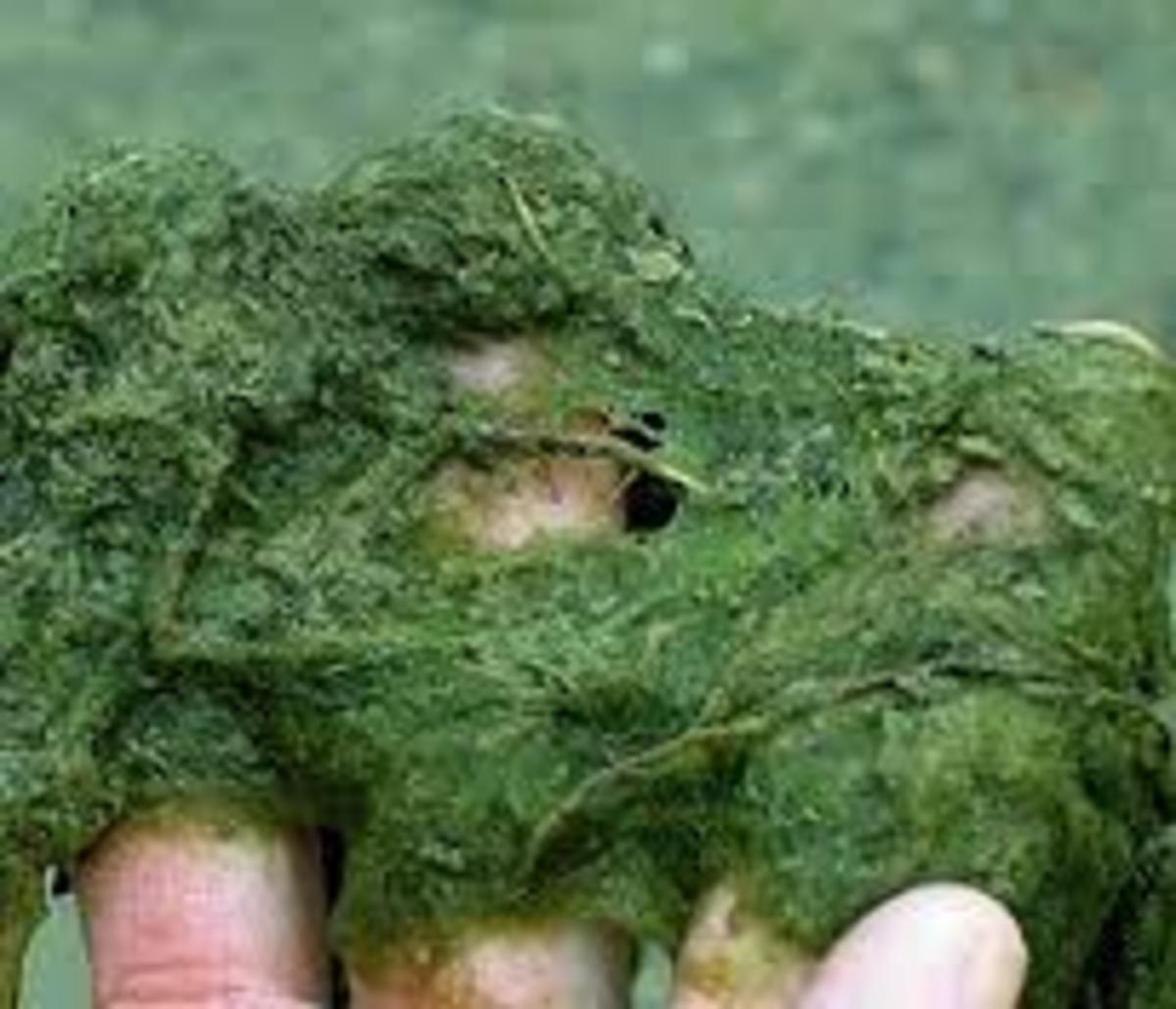 Thread algae