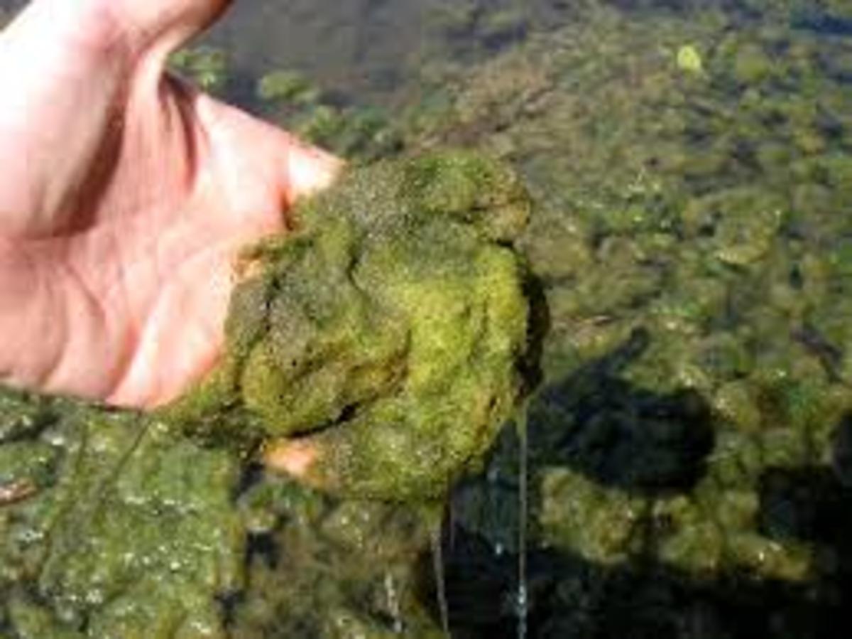 Horsehair algae
