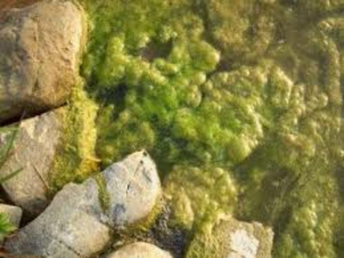 Cotton ball algae clumps