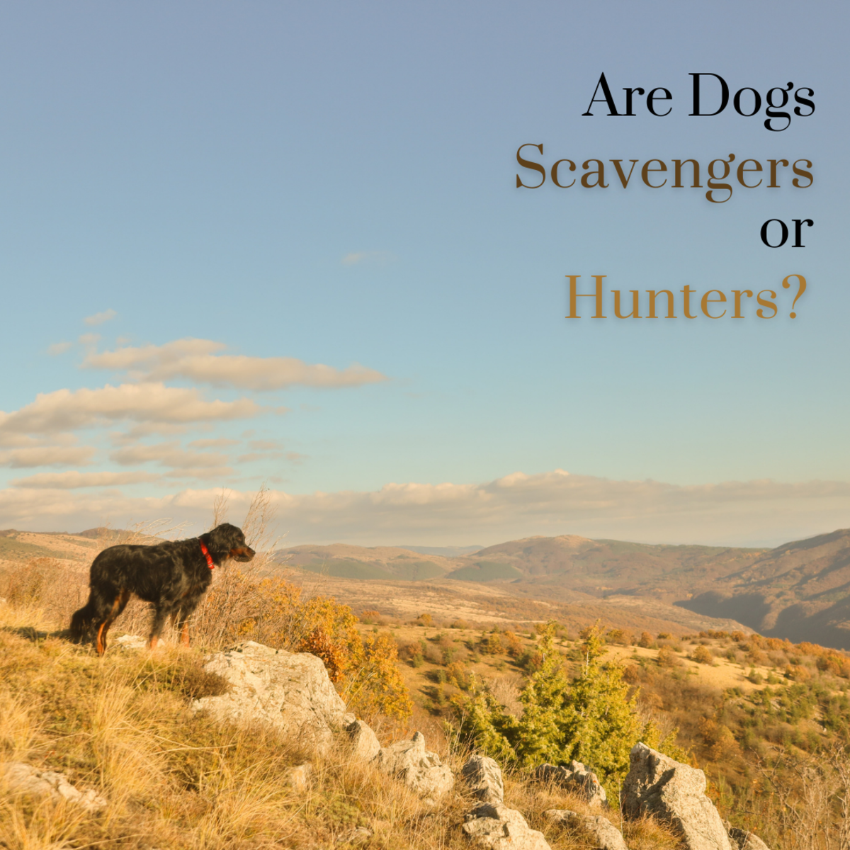 This article will take a look at the debate between whether domesticated dogs are predominantly scavengers or hunters.
