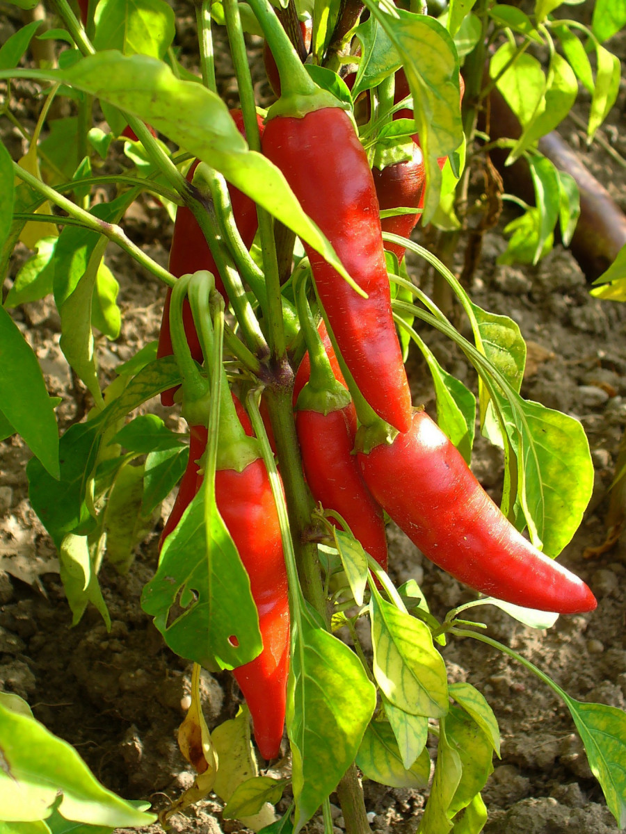 The Cayenne Pepper Fruits (Pods)