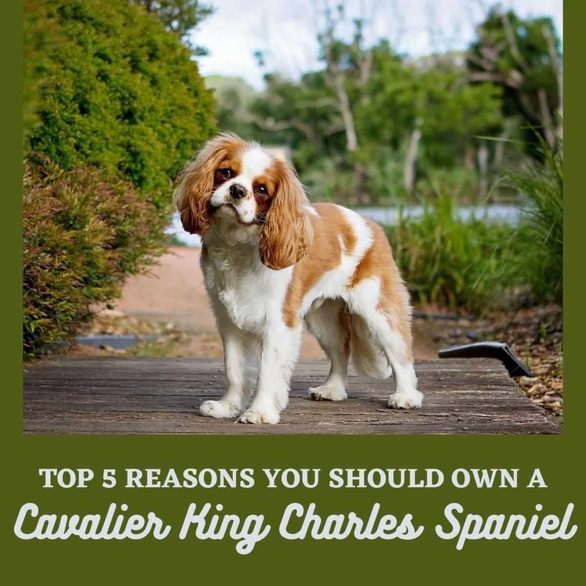 Why you should consider getting a Cavalier King Charles Spaniel