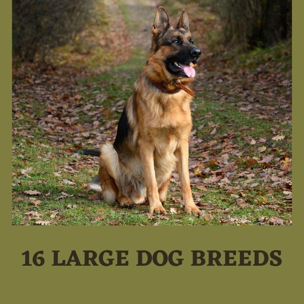 Top 16 Large Dog Breeds
