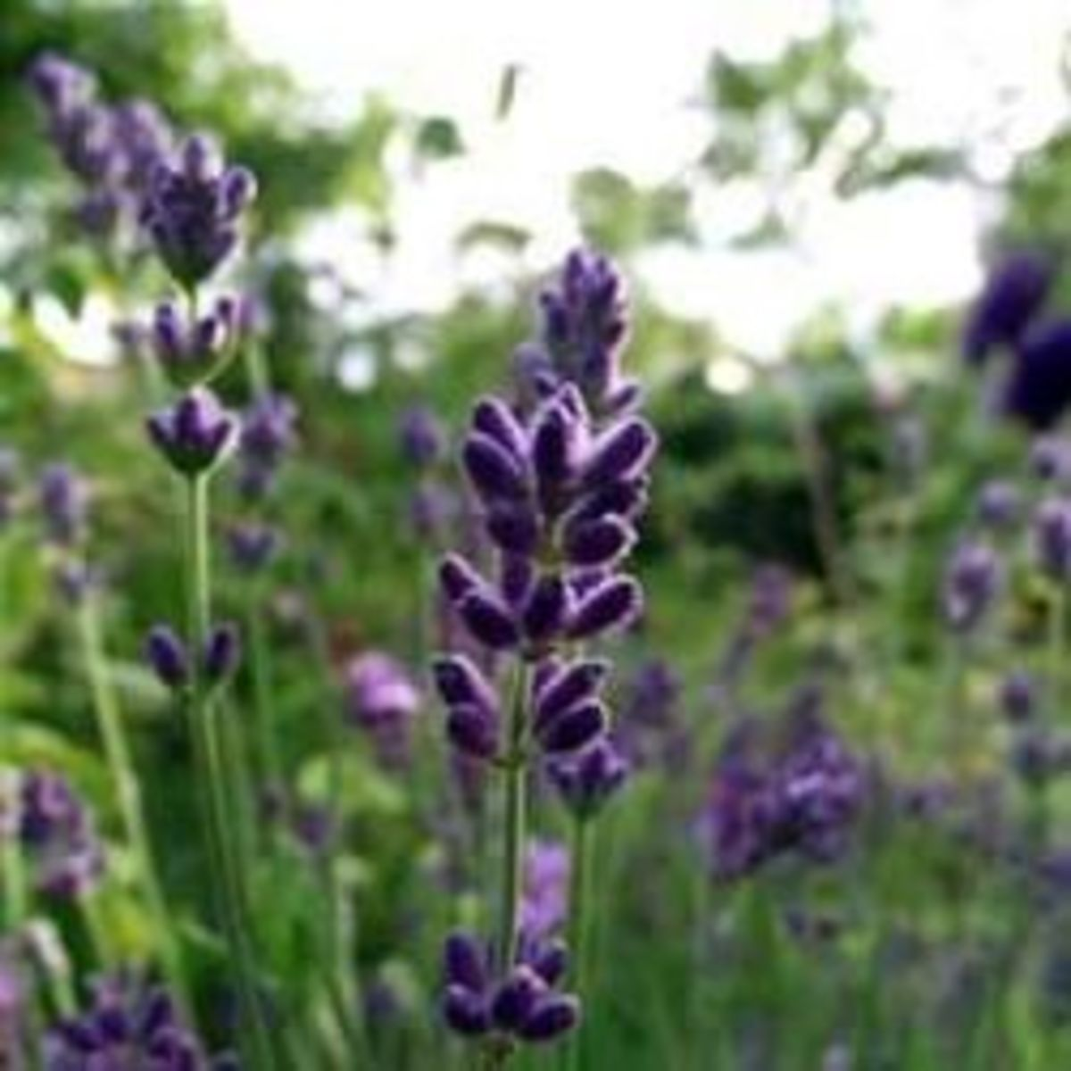 Where To Grow Lavender