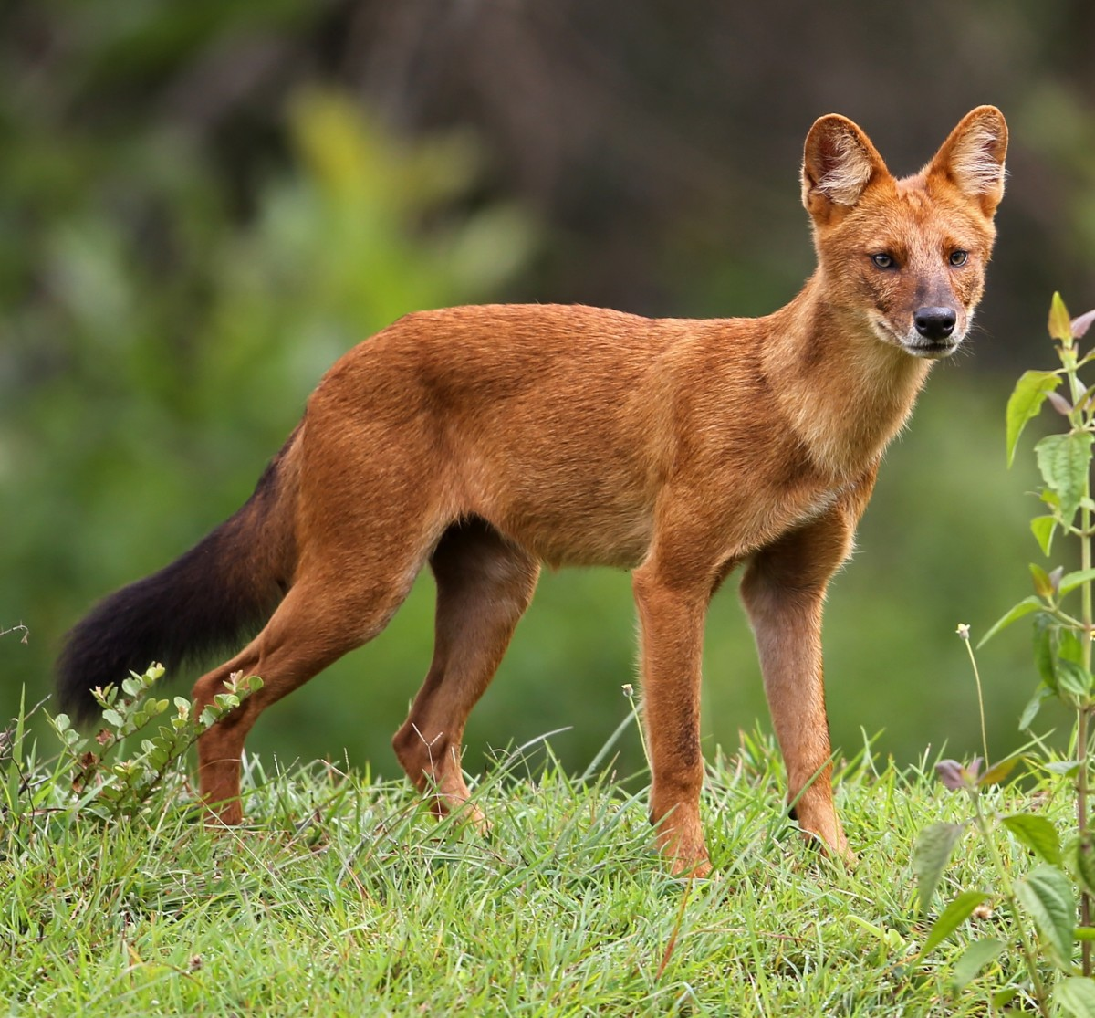 The dire wolf may have borne some resemblance to a dhole, though it was significantly bigger and bulkier.