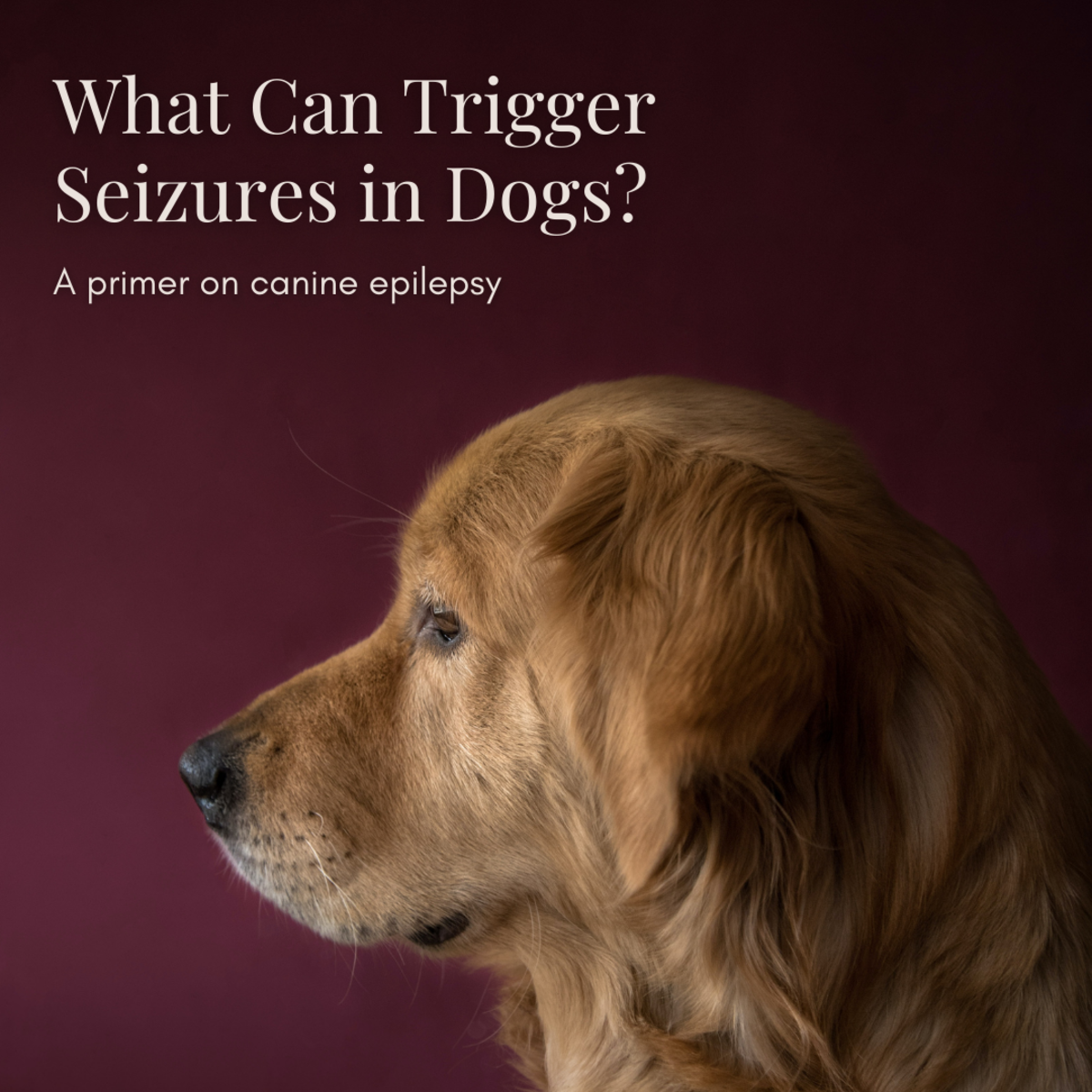 This article will provide a wealth of information on canine epilepsy, including what factors contribute to the possibility of seizures and how you can best care for your epileptic pup.