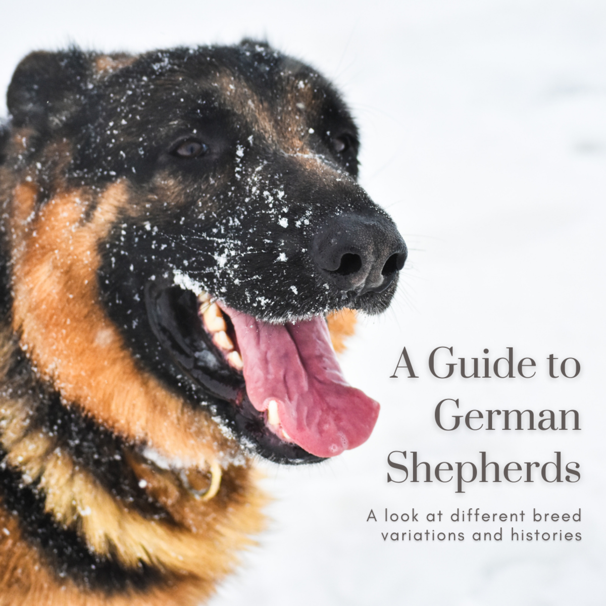 This article will take a look at the many different breed variations of German Shepherds, particularly along show and working lines.