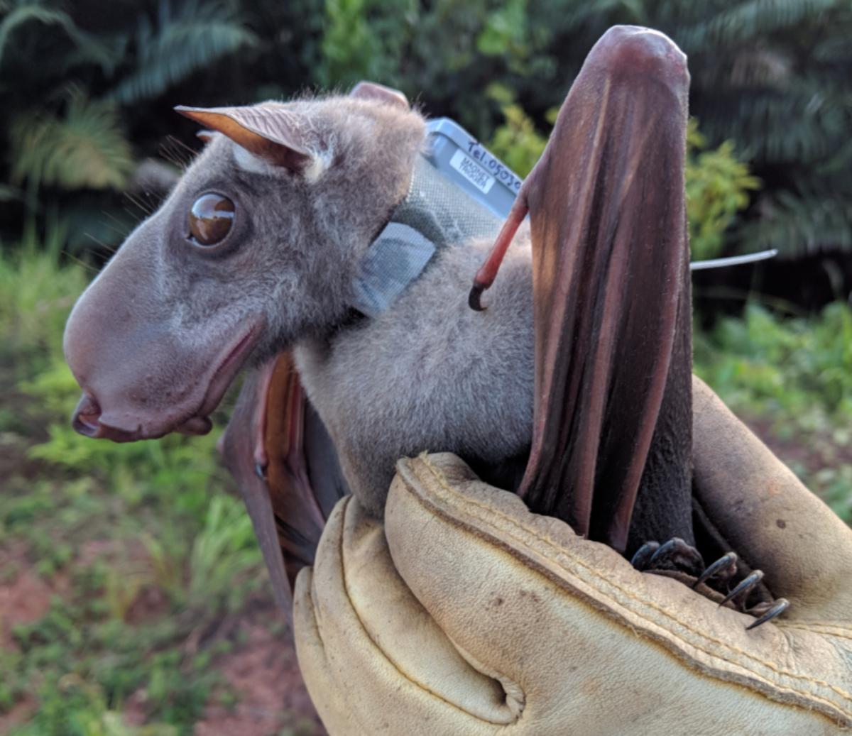 Hammer-headed bat.