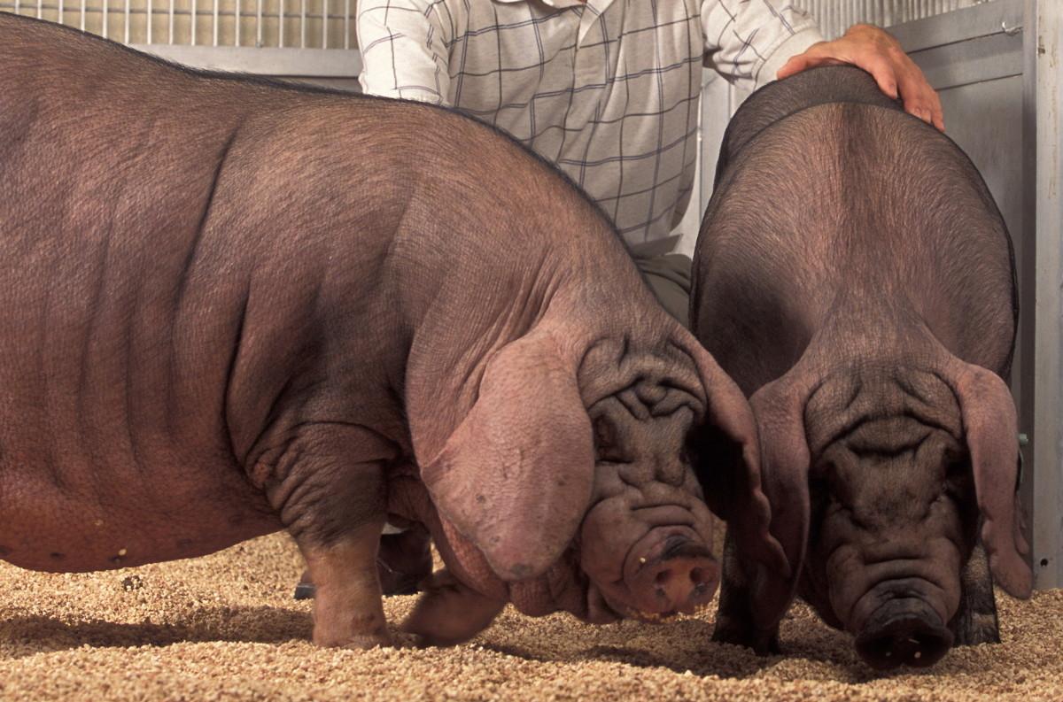 Meishan pigs.