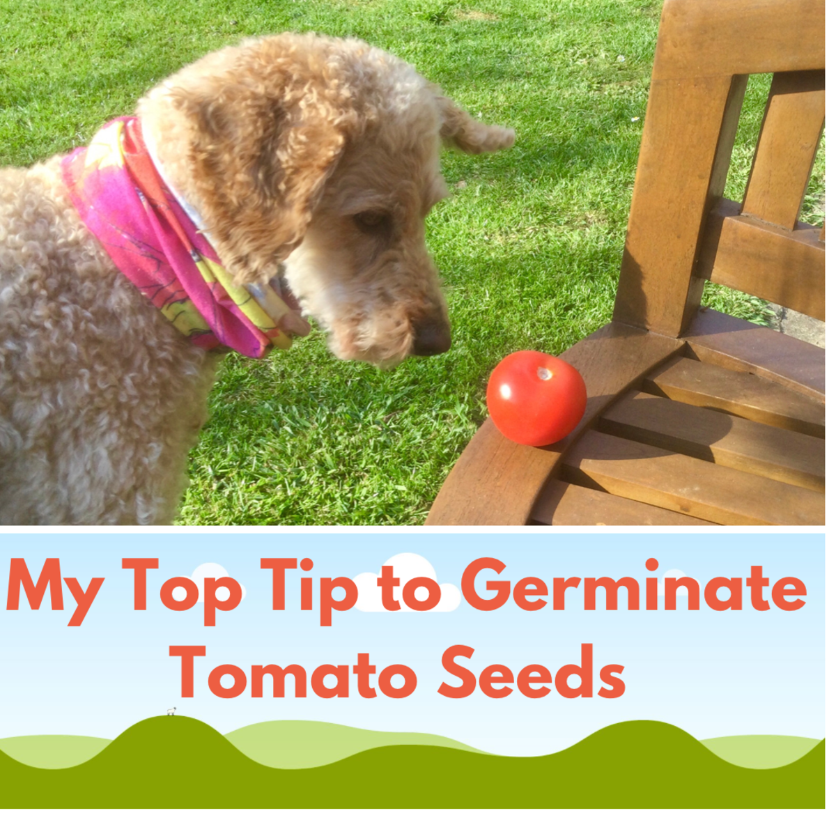 My Top Tip to Improve Tomato Seed Germination