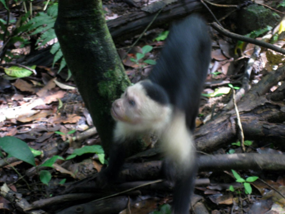 Cute Monkey In Costa Rica Jungle
