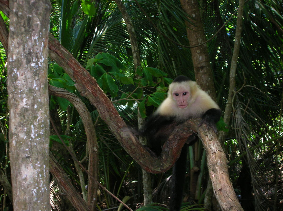 Cute Monkey In The Jungle In Costa Rica