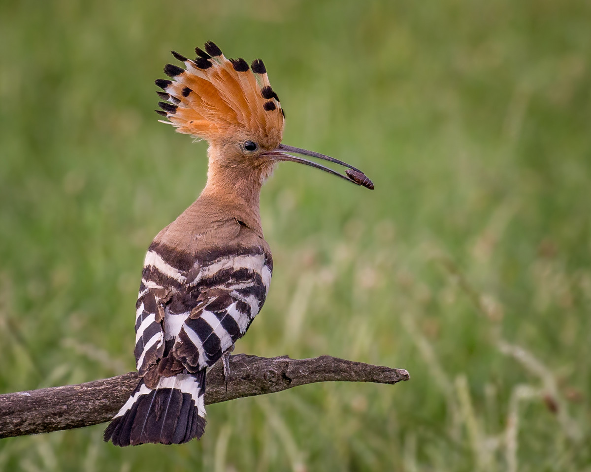 birds-with-elegant-crowns