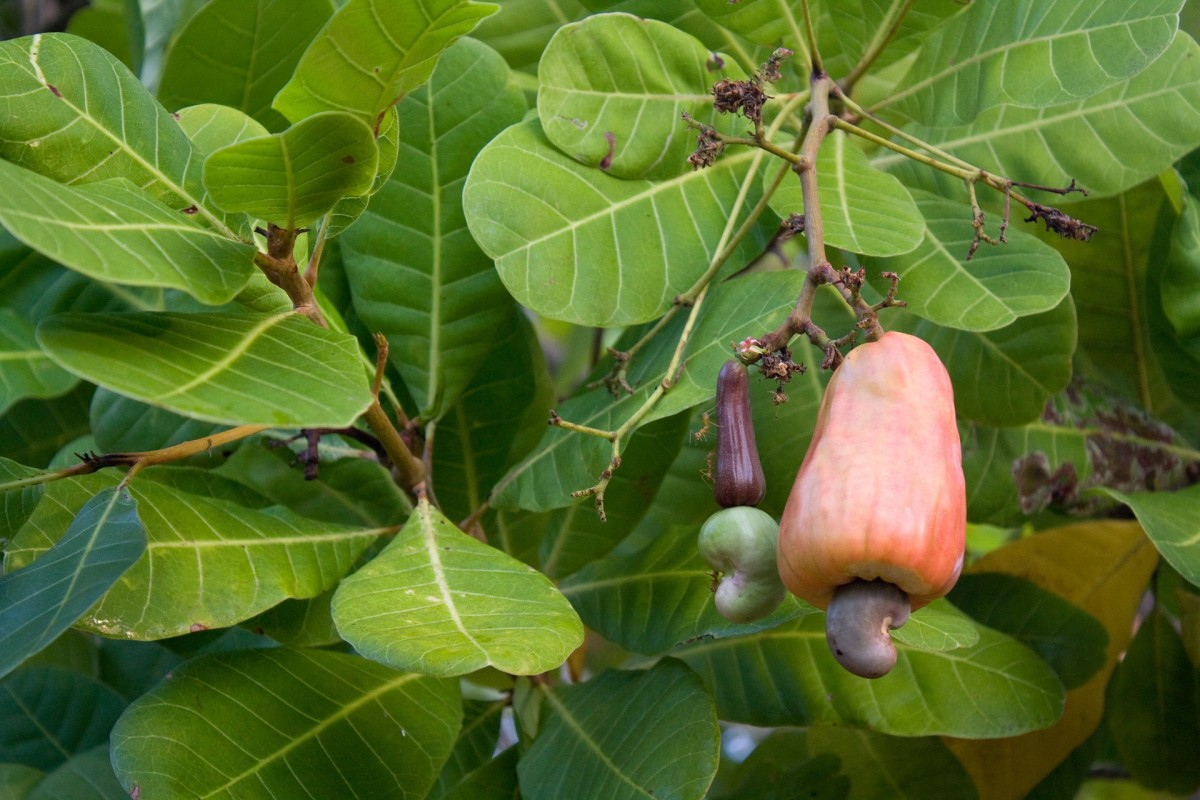 The fruit of a cashew tree
