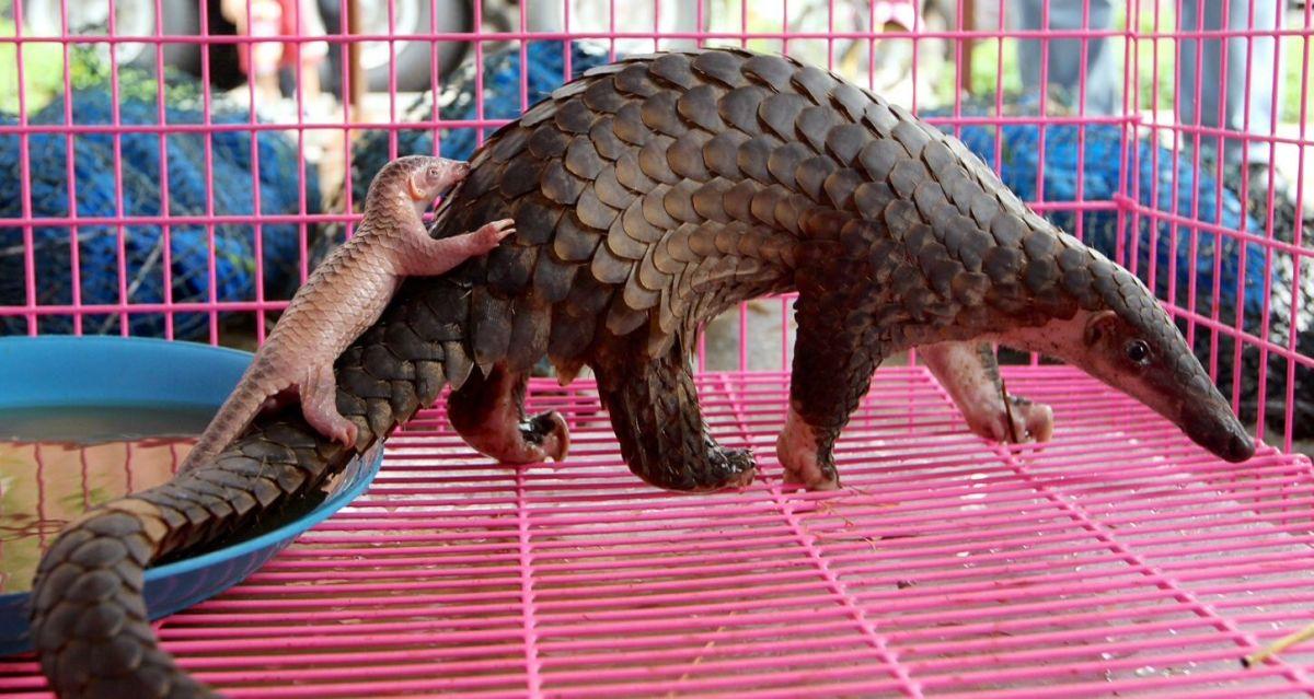 critically-endangered-pangolins