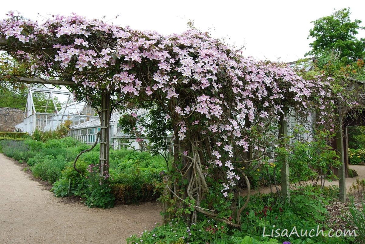 Flowering Clematis Plant used for covering a pergola