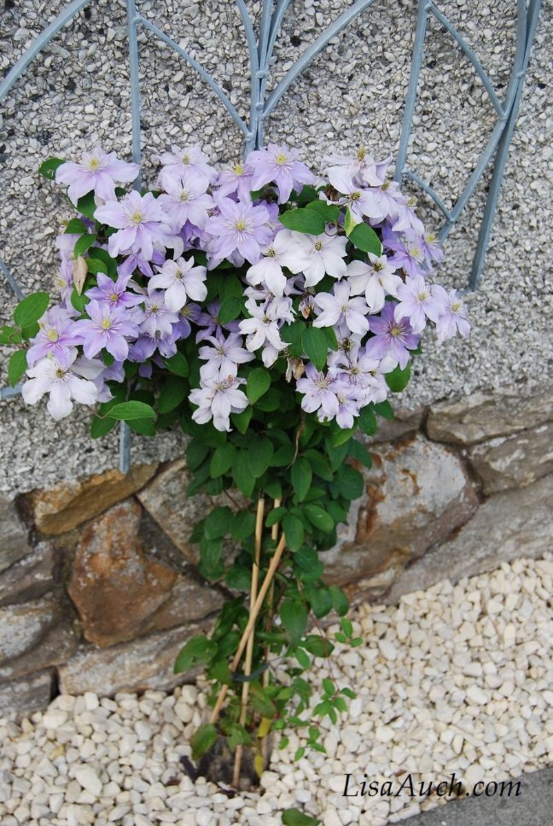 Pictures of flowers Clematis