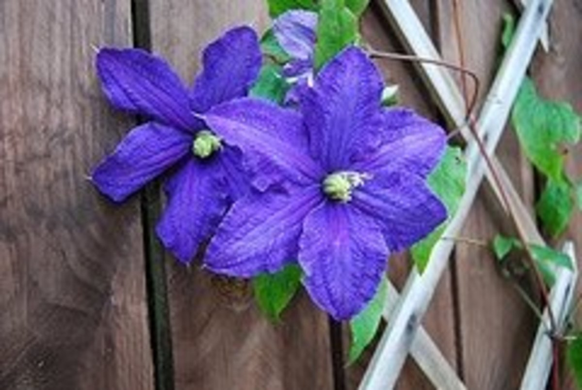 Clematis Group 2