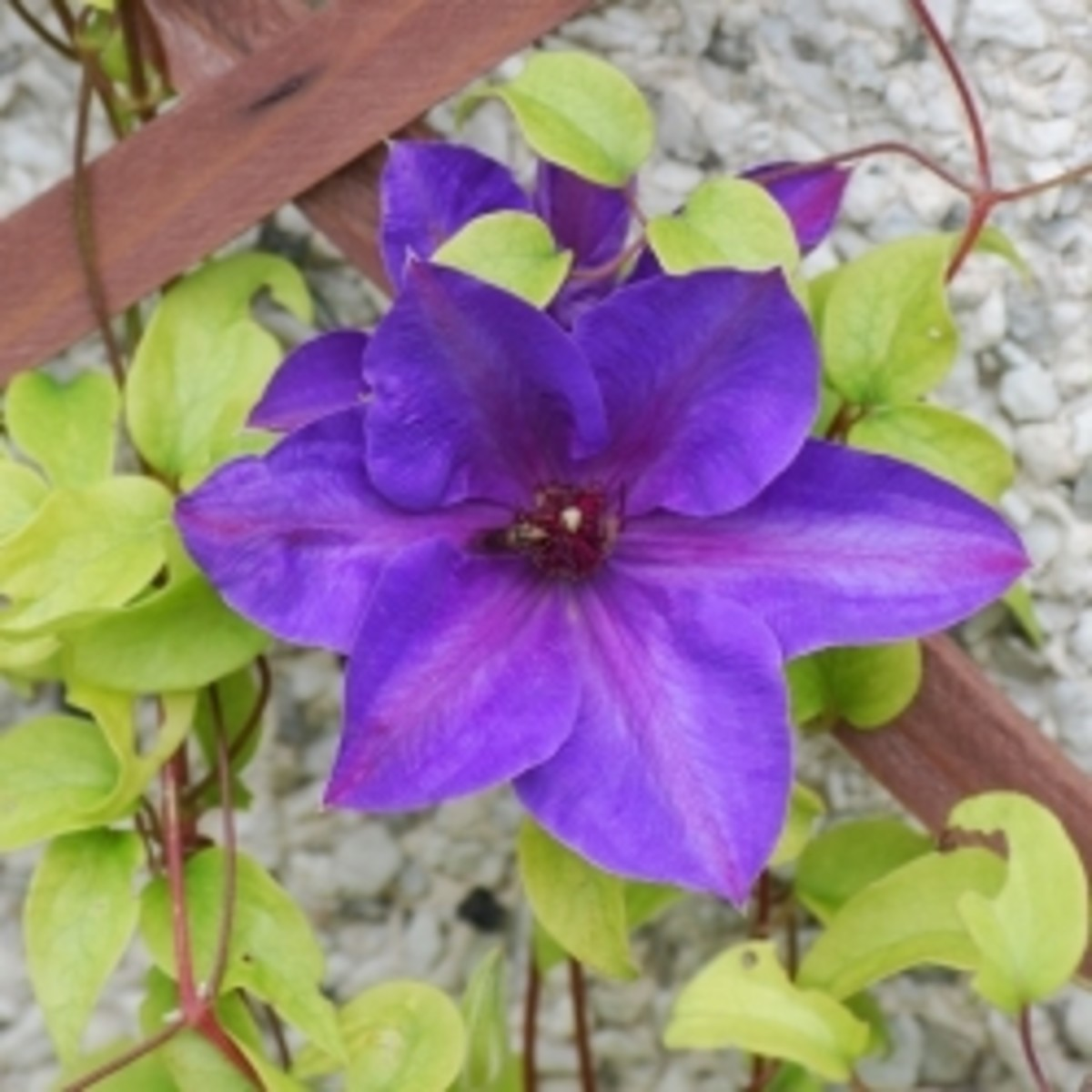 Clematis Beautiful Colorful Climbing Flowers