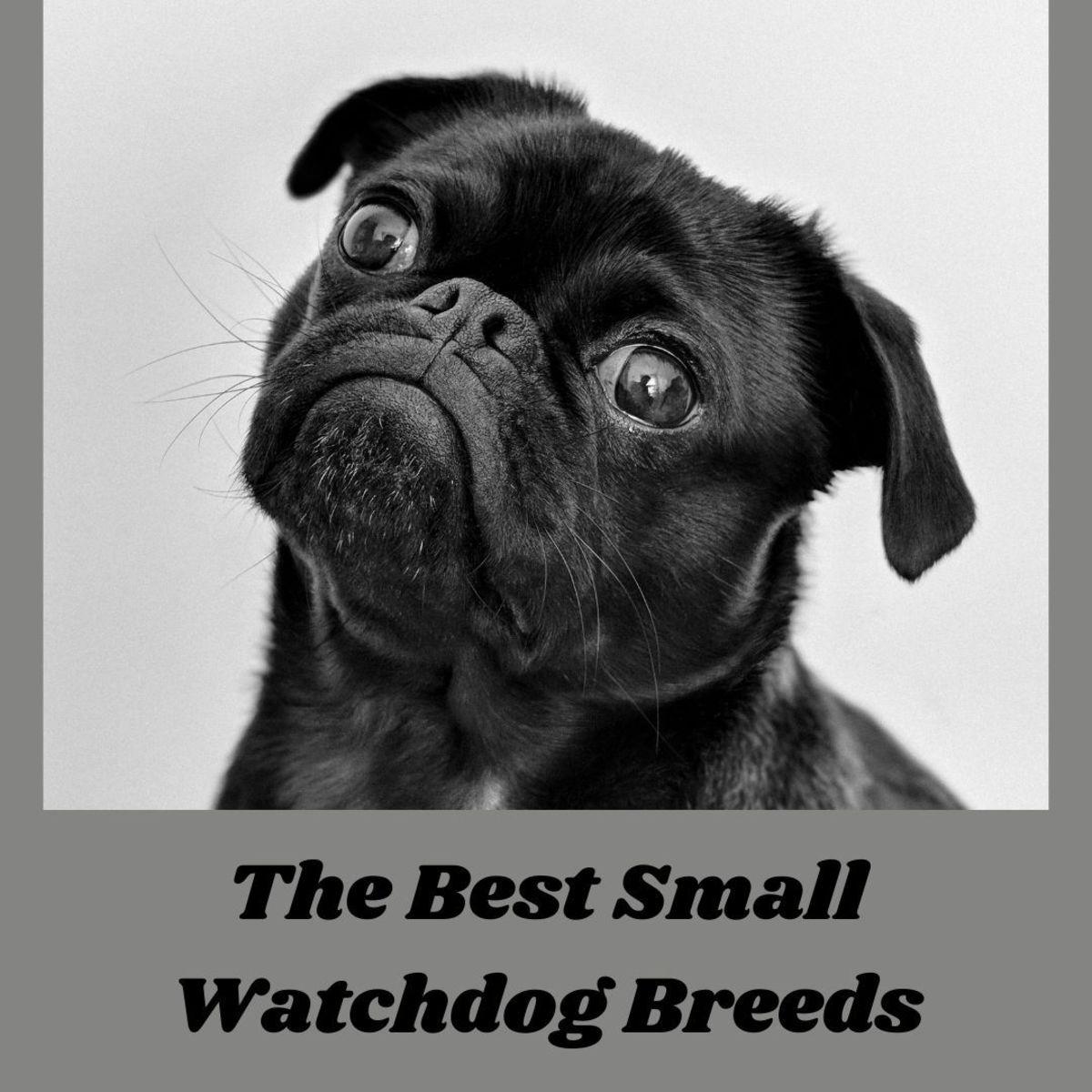 5 Best Small Watchdog Breeds