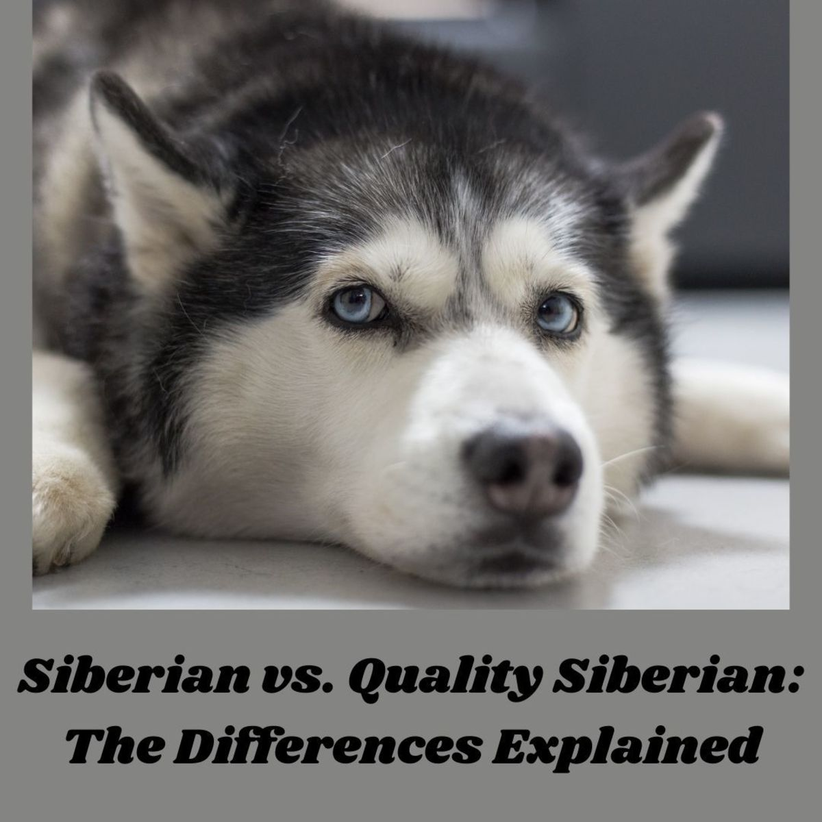 What are the differences between a Siberian and a quality Siberian?