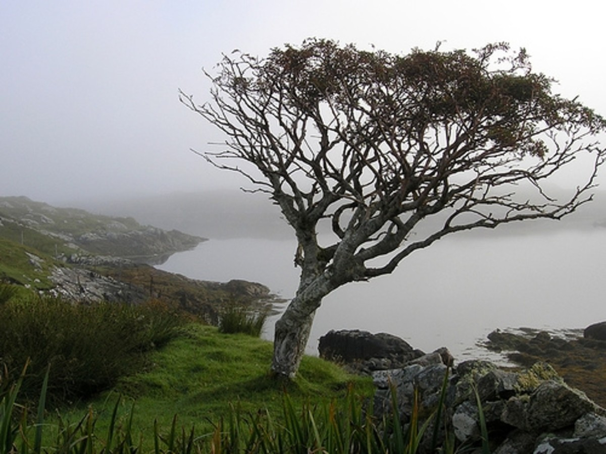 A lone rowan tree. gnarled and blown by strong winds grows high above the banks of a cursed lake - see Findabair's story (left)