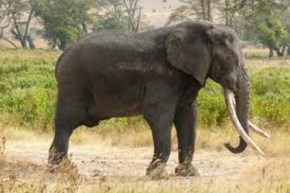 African Elephants, Poachers, And The Black Market Ivory Trade