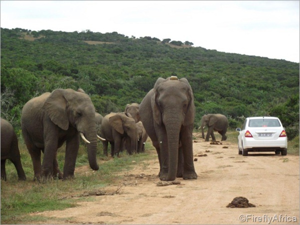 african-elephants-and-their-struggle-to-survive