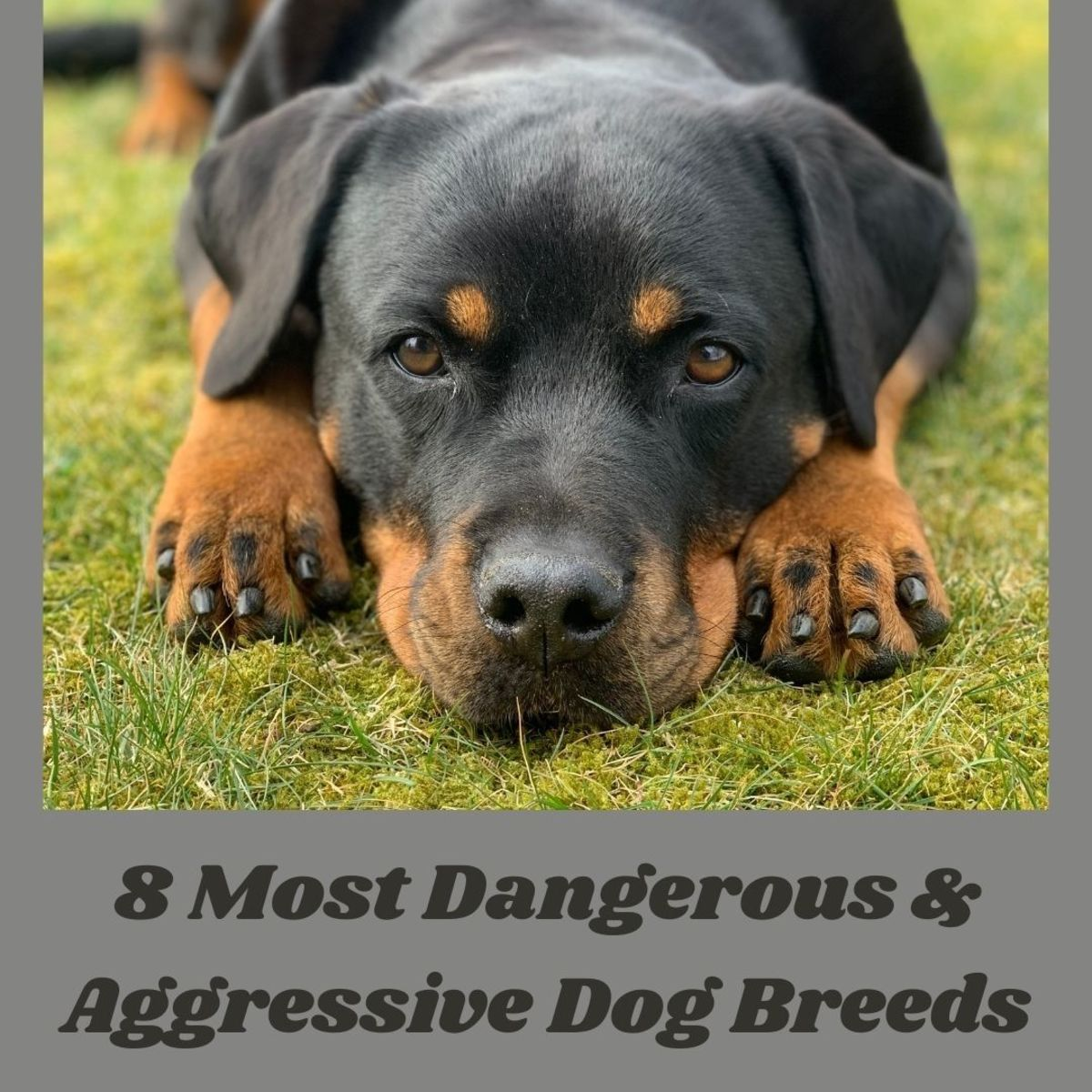 These eight dog breeds are known to be aggressive, although if they are brought up well, they can also make great and loyal friends!